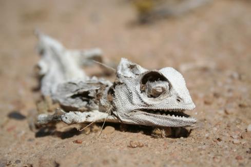 dead_desert_chameleon_by_phatninja